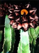 Caralluma plant